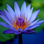blue+lotus+flower+photo.jpg